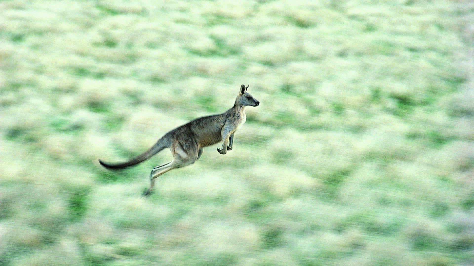 Kangaroo Jump Photos