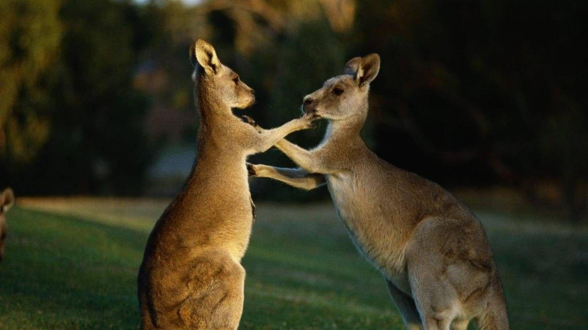 Kangaroo Photos