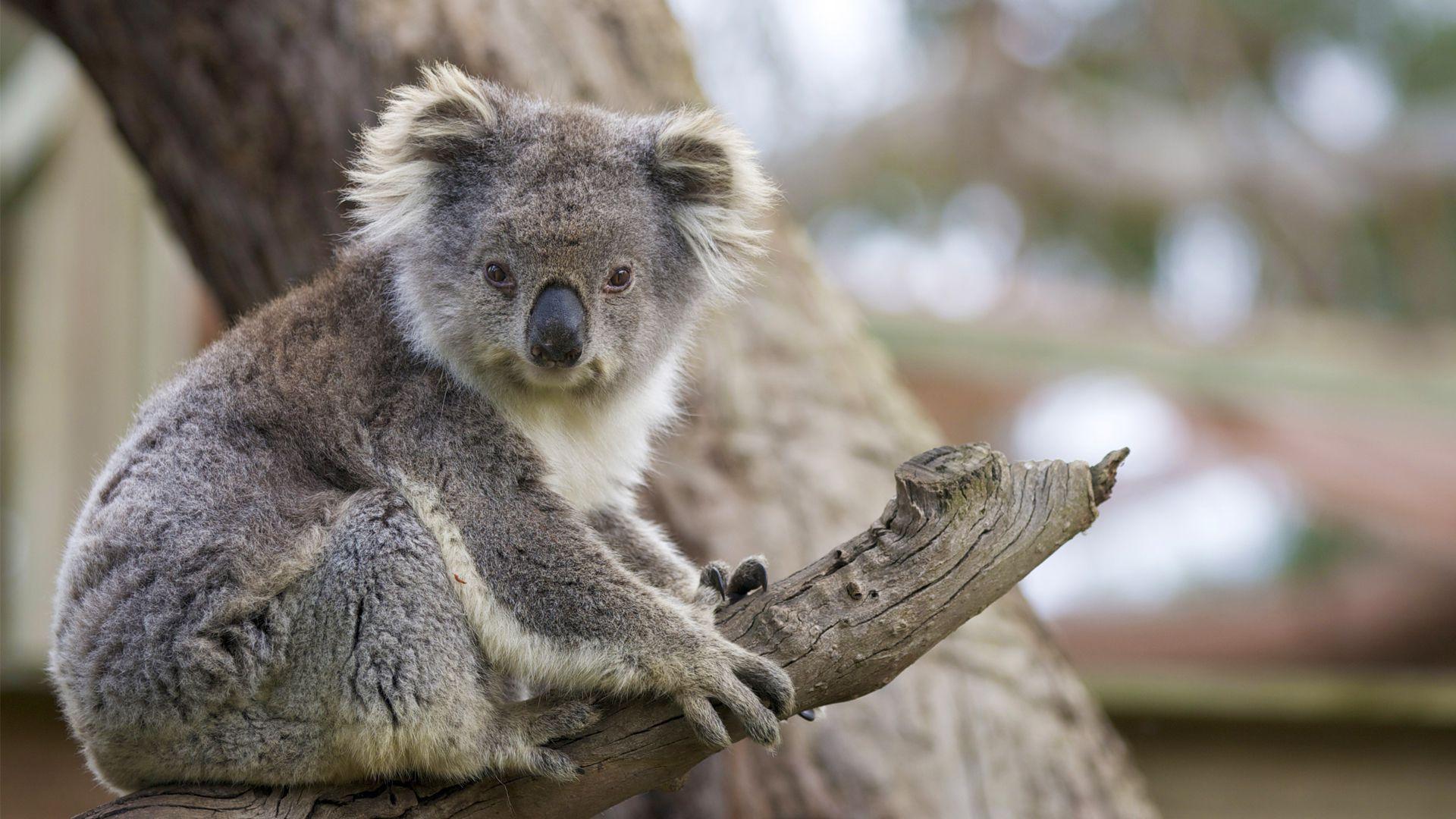 Koalas Beautiful Photo In Australia