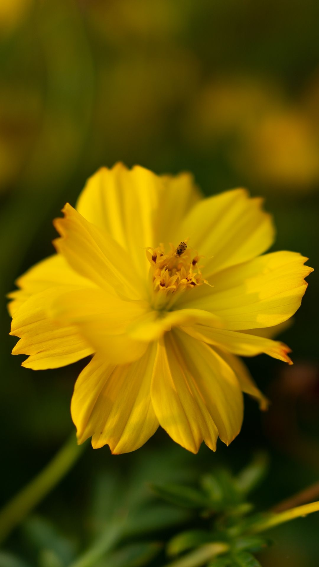 Kosmeya, Sunny Yellow