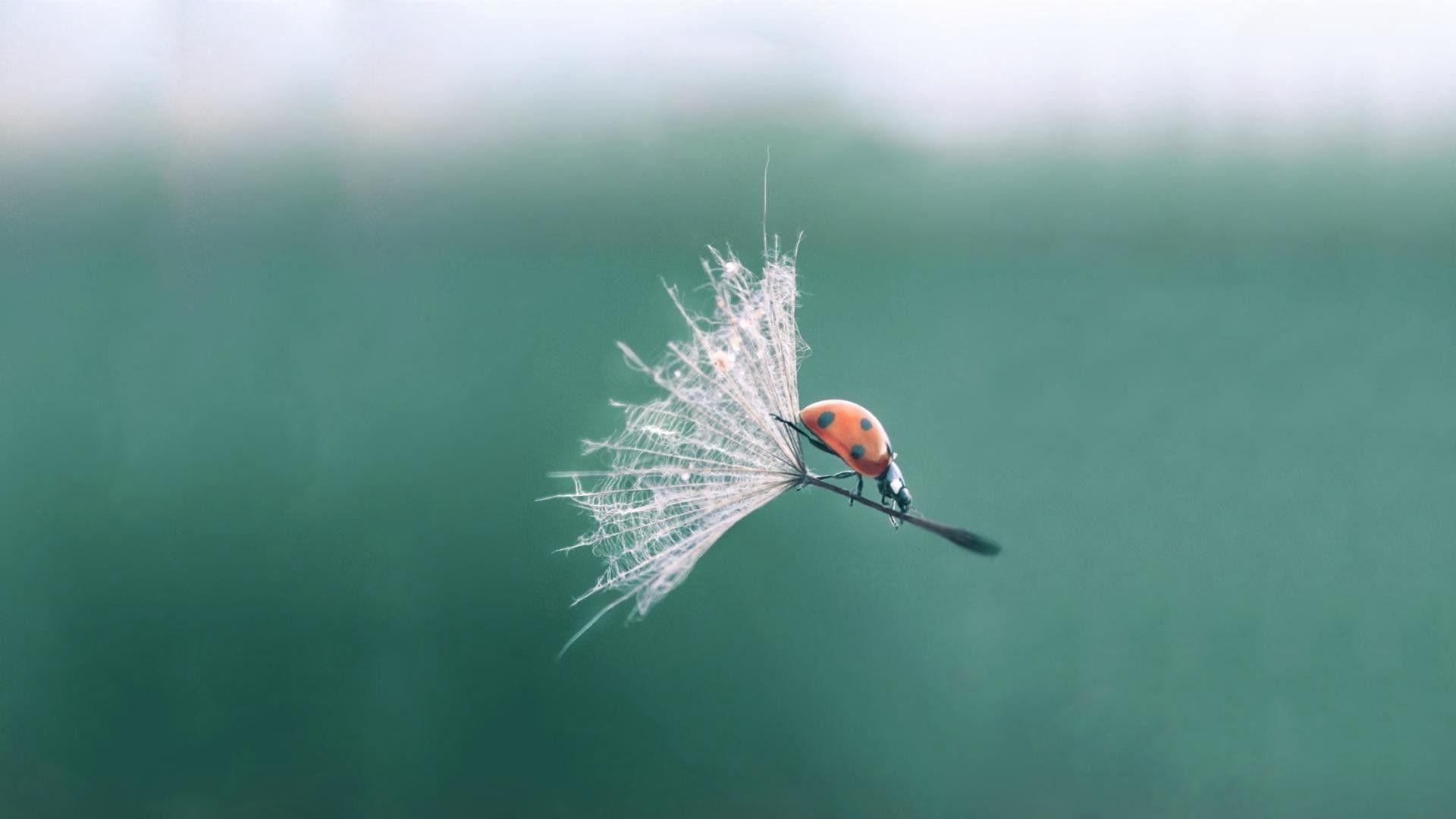 Ladybug On A Dandelion Photo