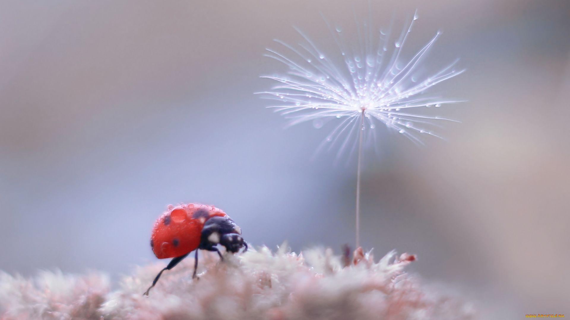 Ladybug On Dandelion Macro Photography