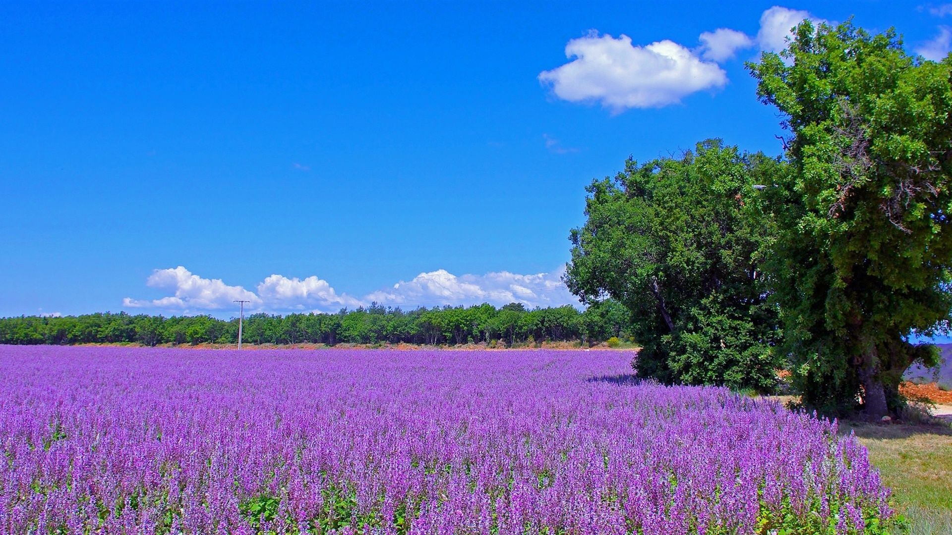 Lavender Field In France Photo