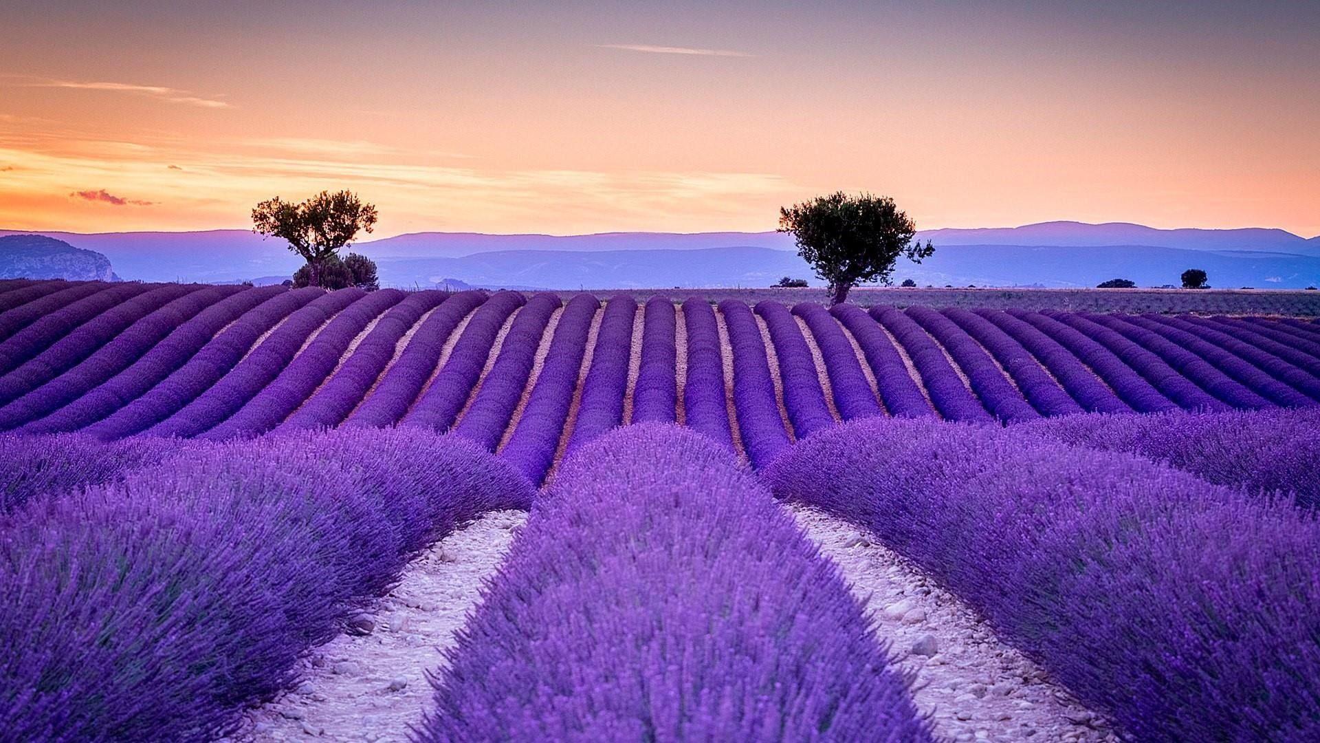 Lavender Field Pictures