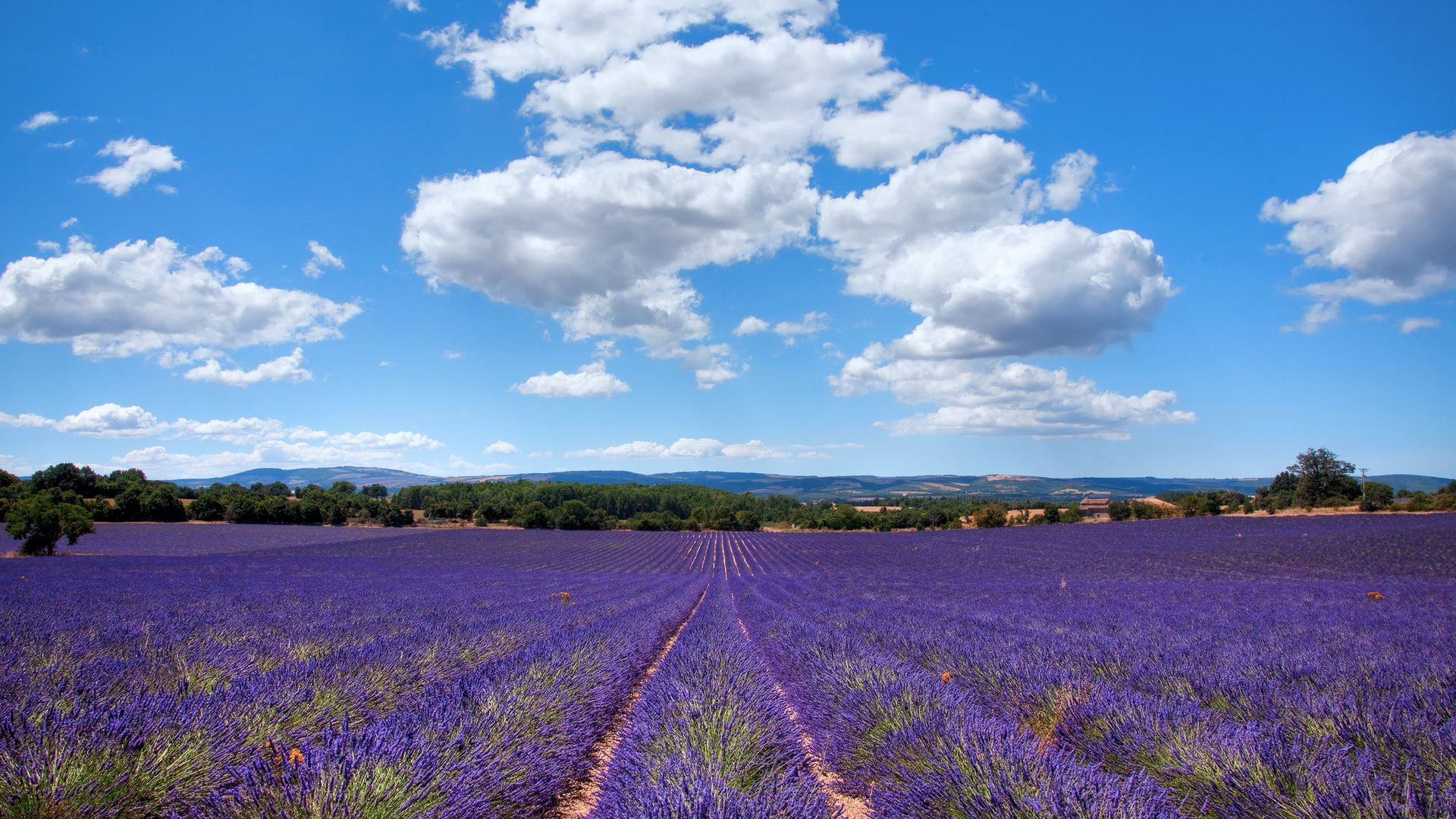 Lavender Fields In Pr
