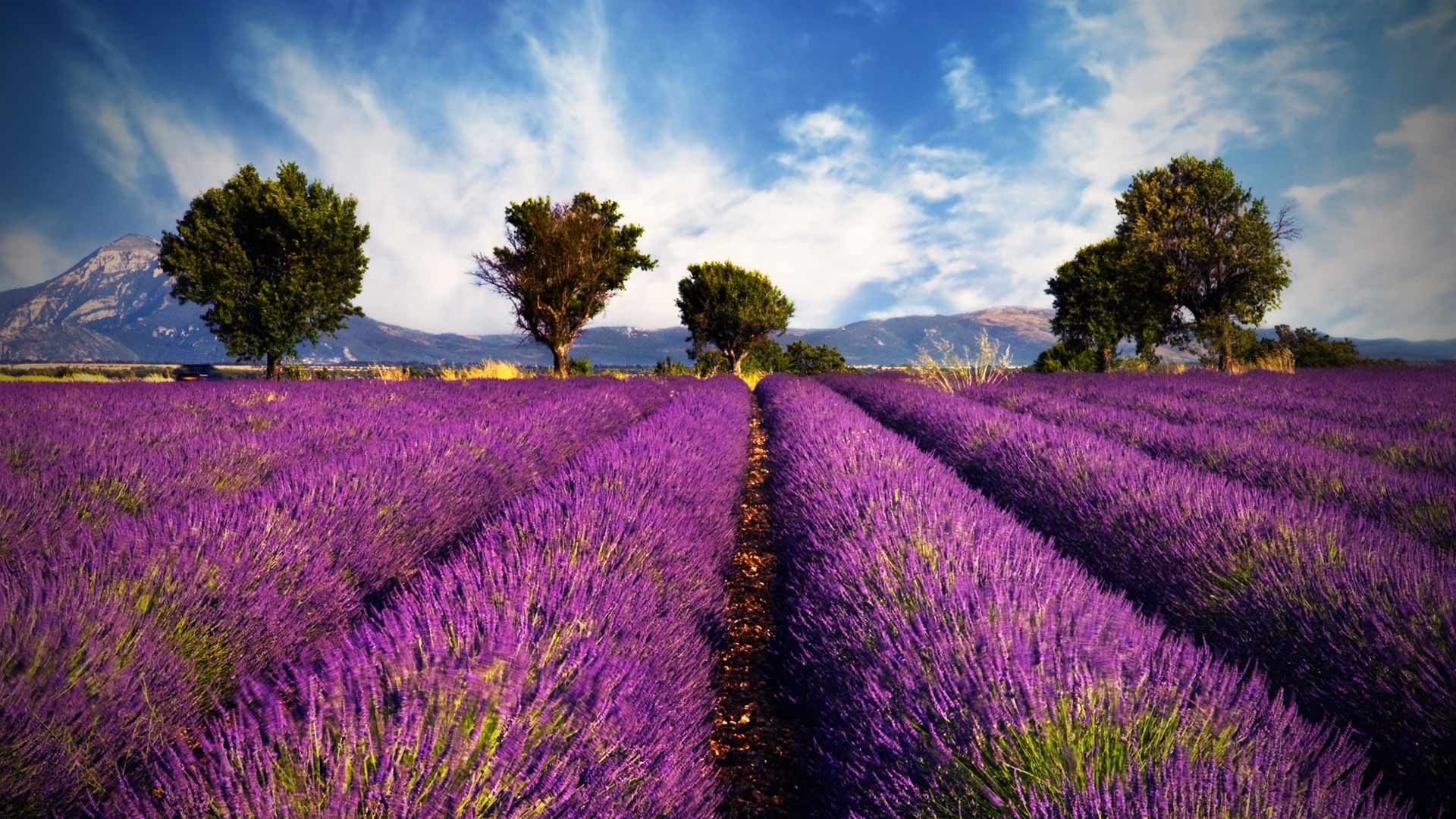 Lavender Fields In Paris