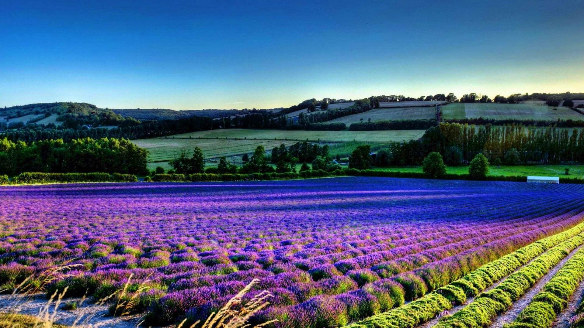 Lavender Fields In Provence Photo