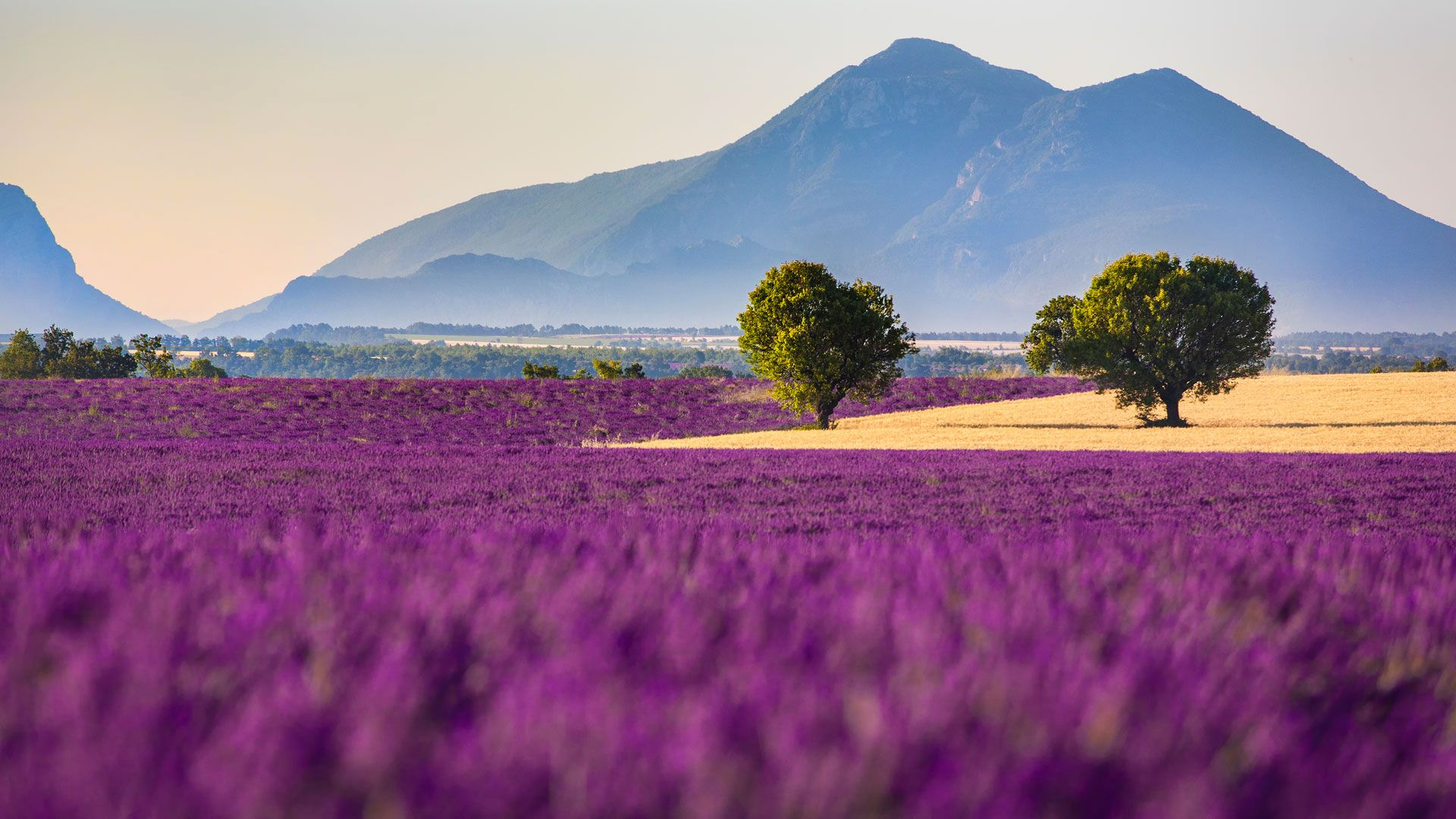 Lavender Fields In Proven
