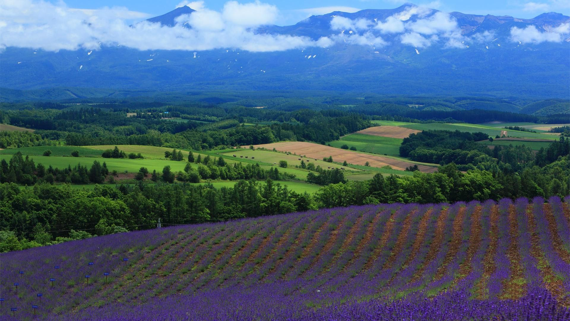 Lavender Fields In The Mountains