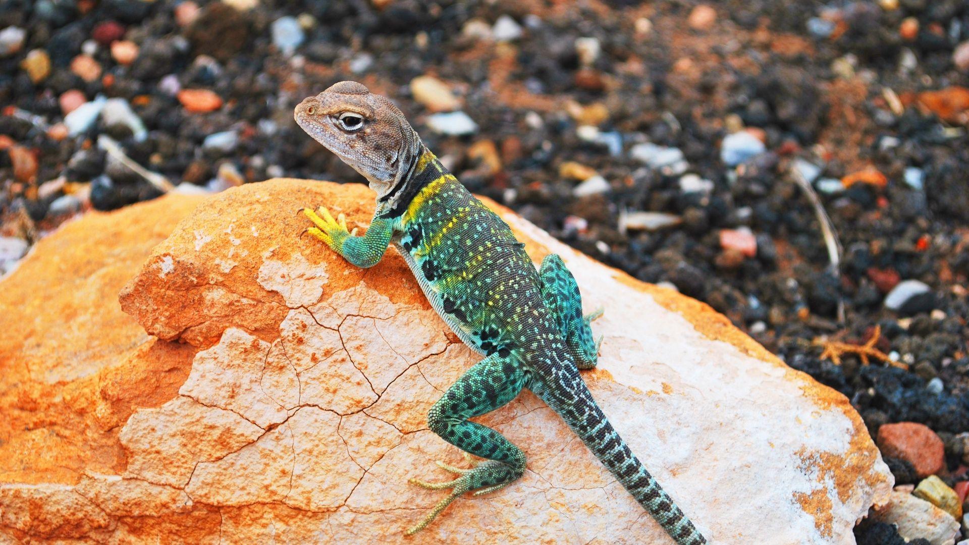 Lizard Gecko Photos