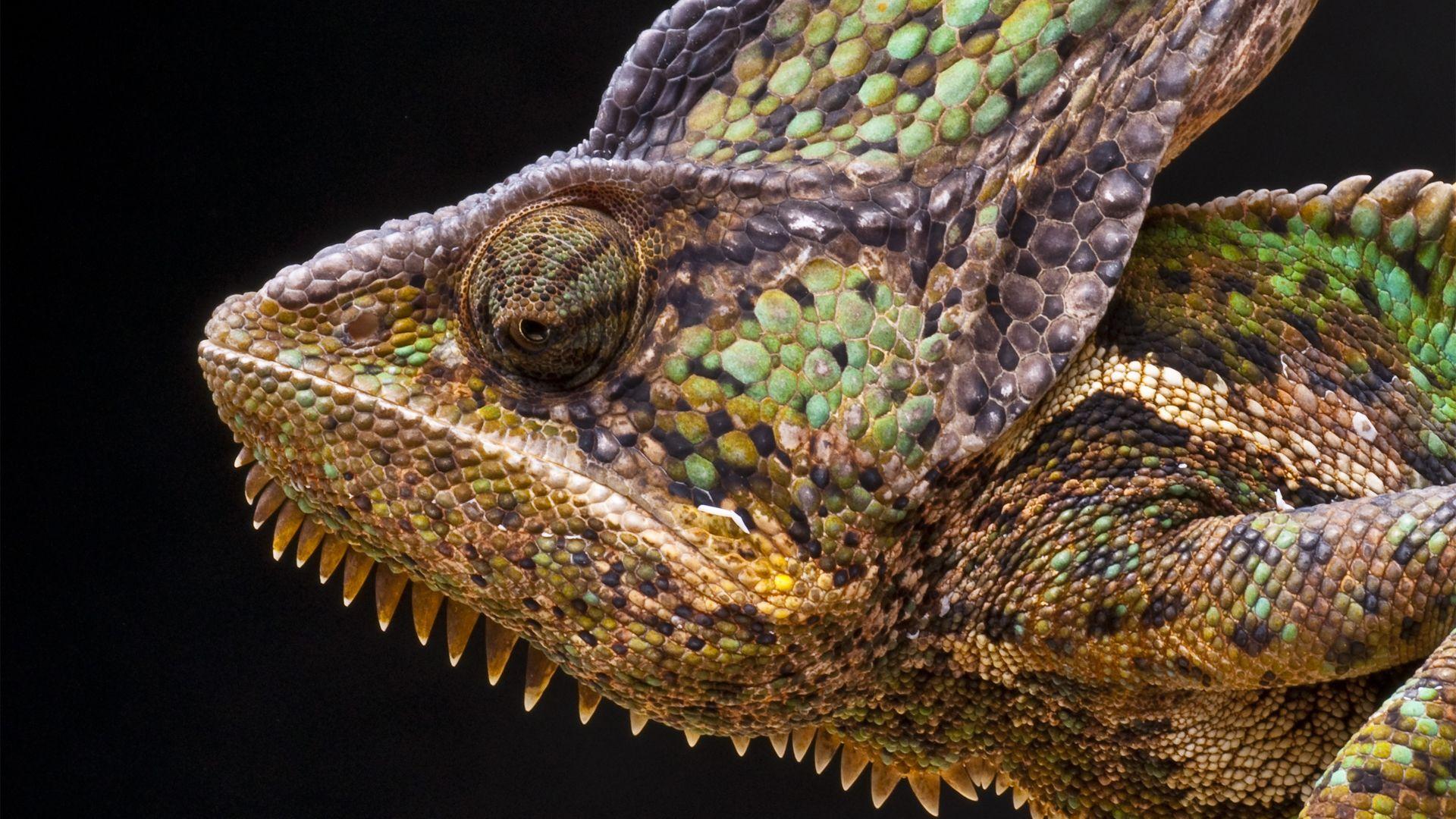 Lizard Chameleon
