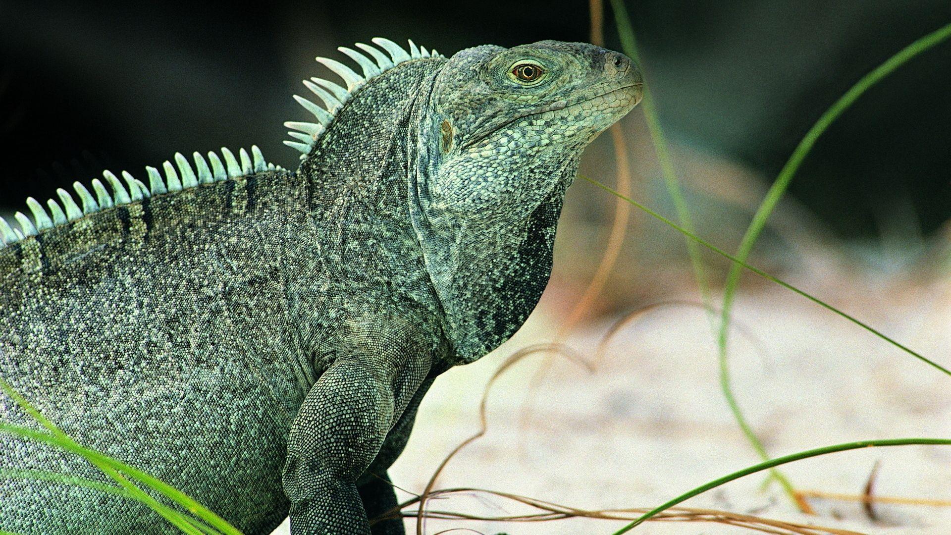 Lizard Iguana Photo