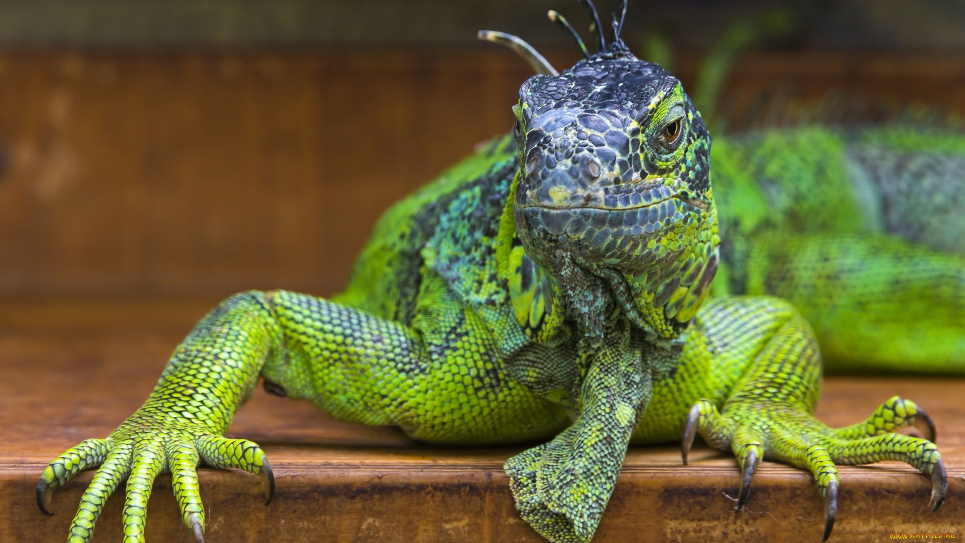 Lizard Iguana