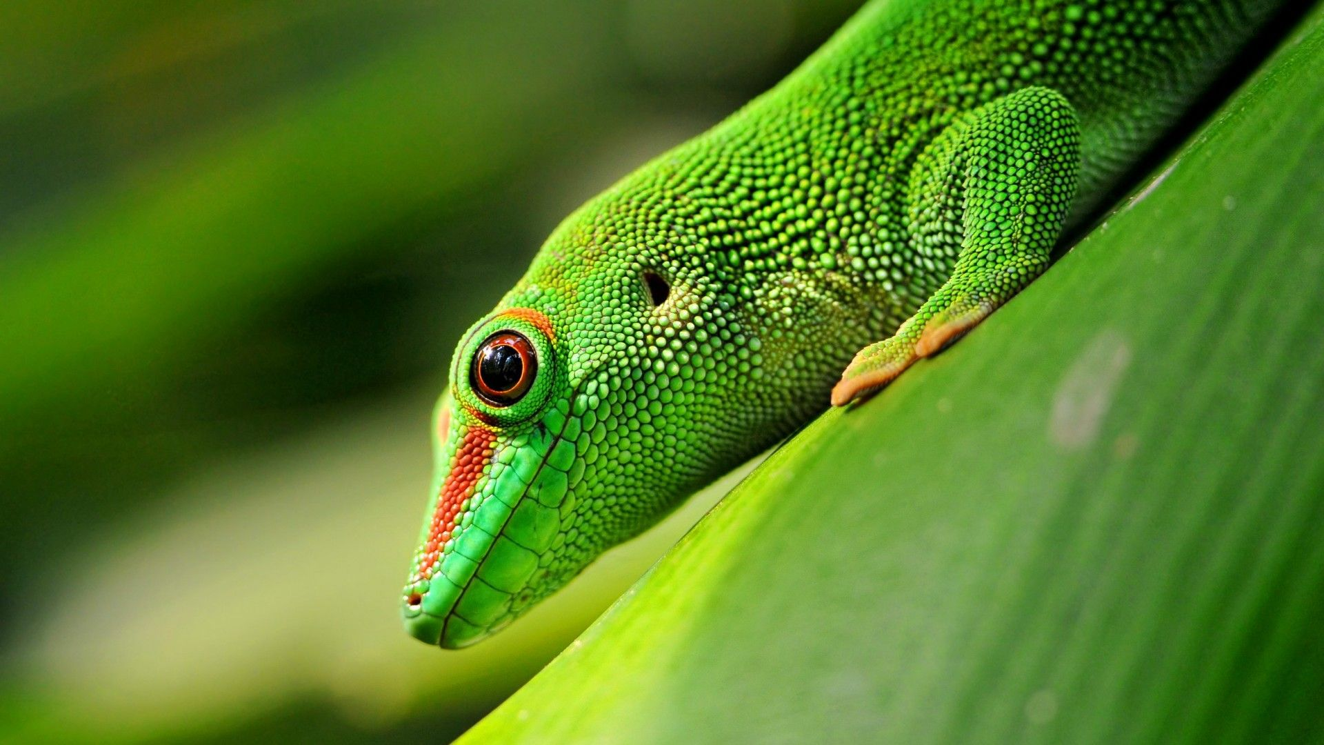 Lizard Phelsuma