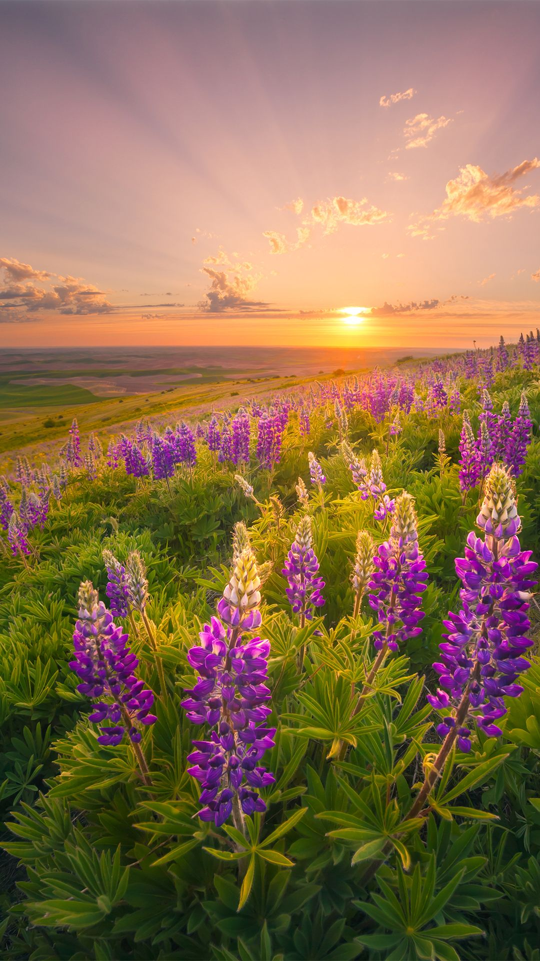 Lupins Picture