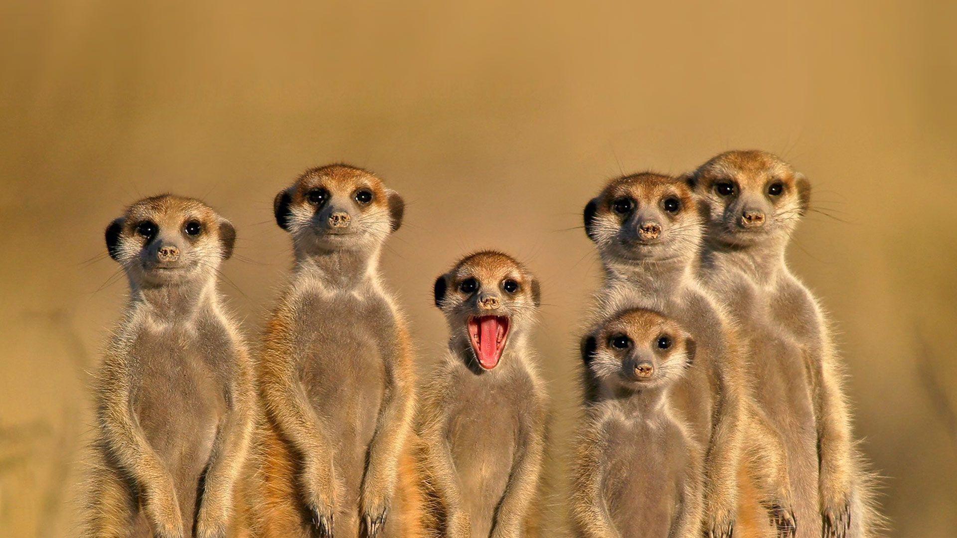 Meerkats Wallpapers