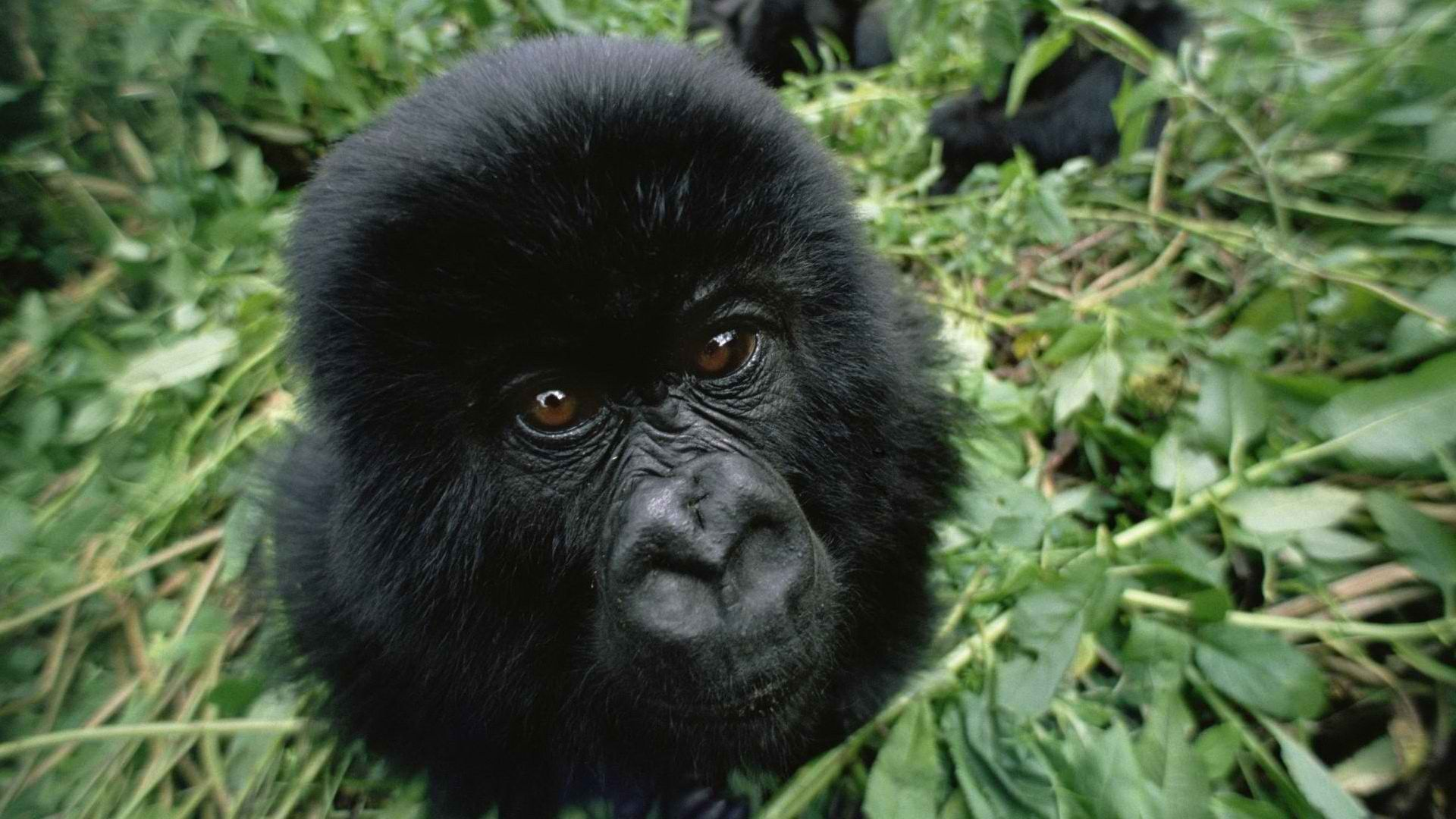 Monkey Black Photo Gorilla