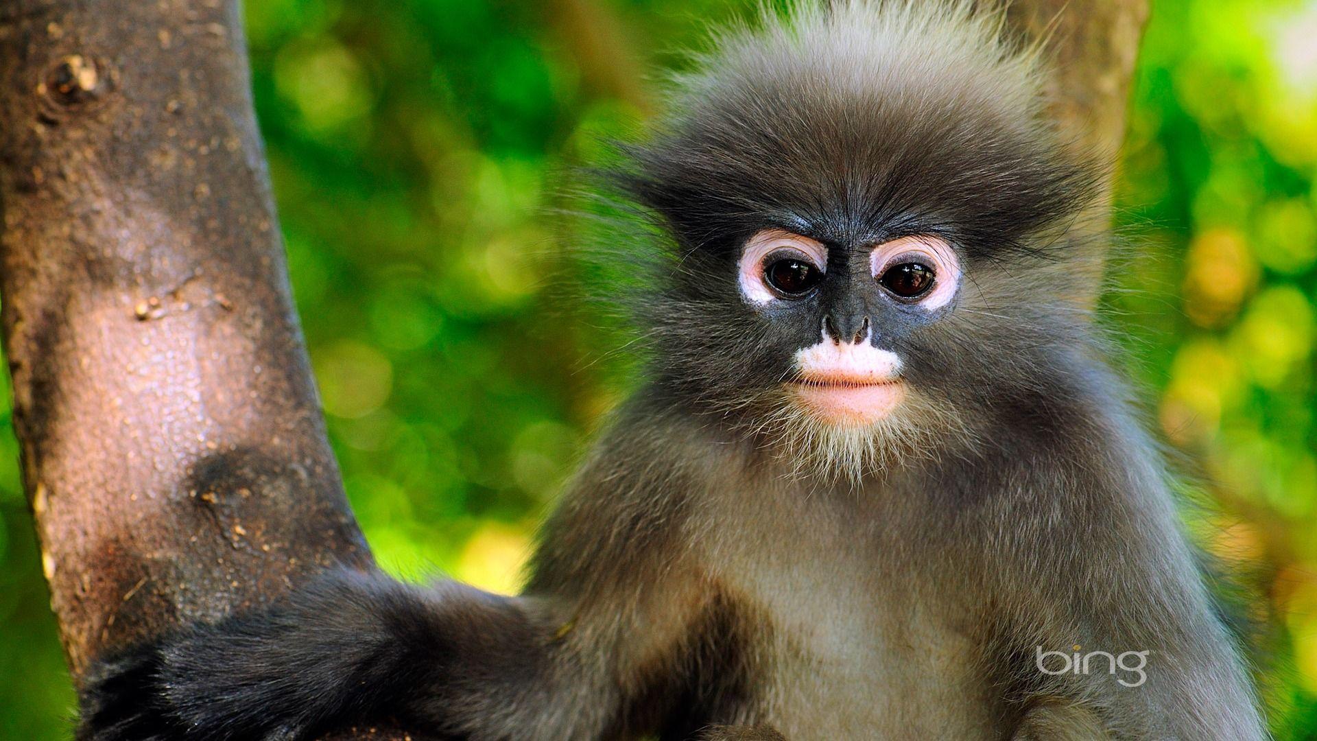 Monkey Spectacled Encotel