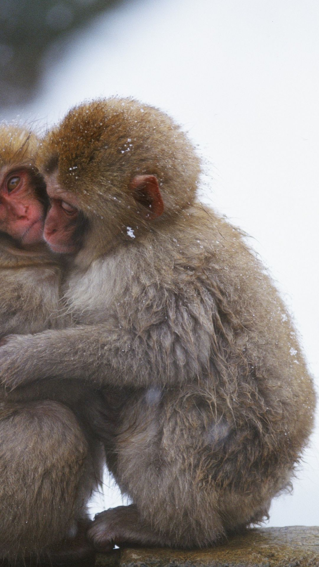 Monkeys Cuddling Pictures