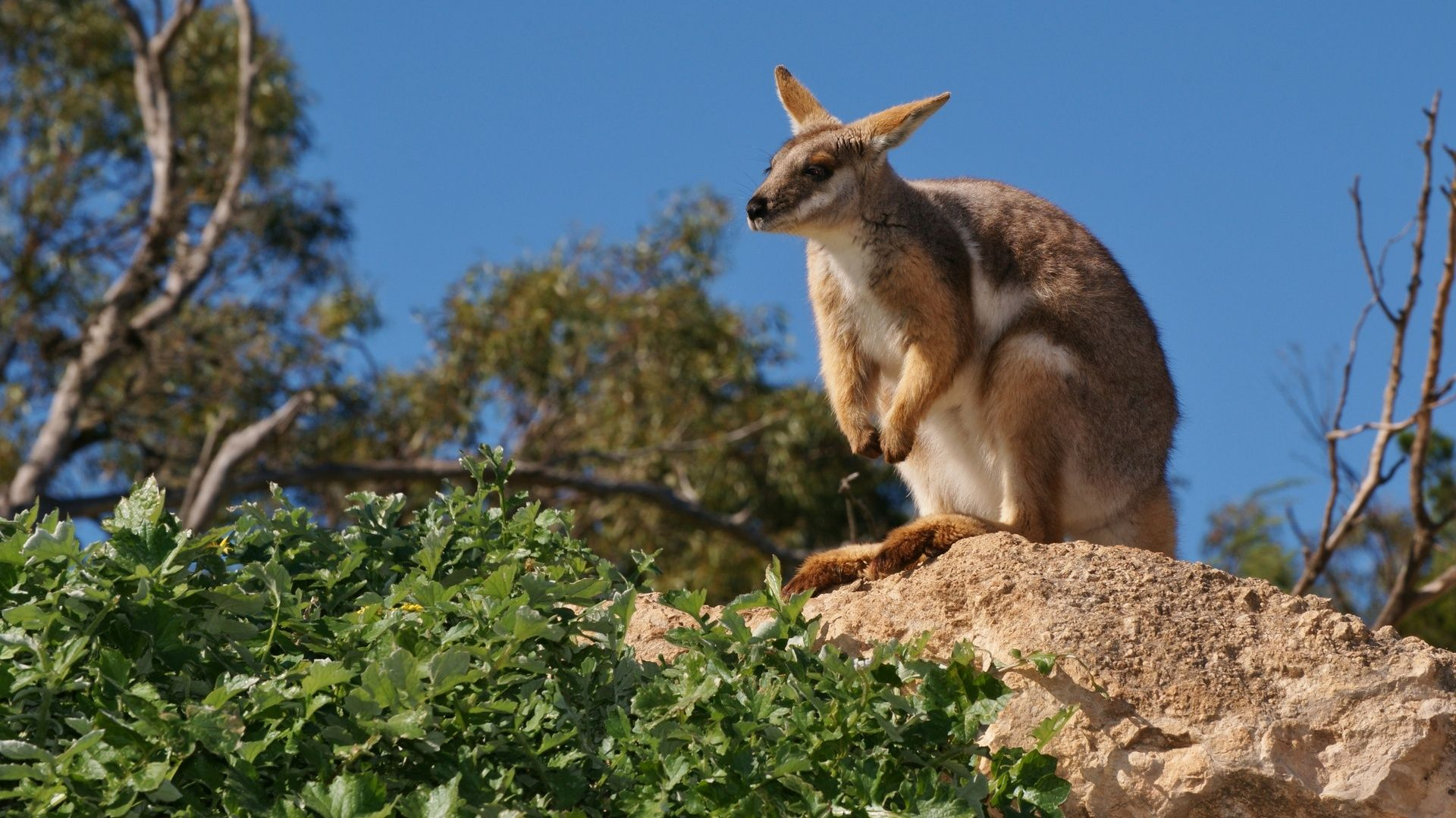 Mountain Kangaroo