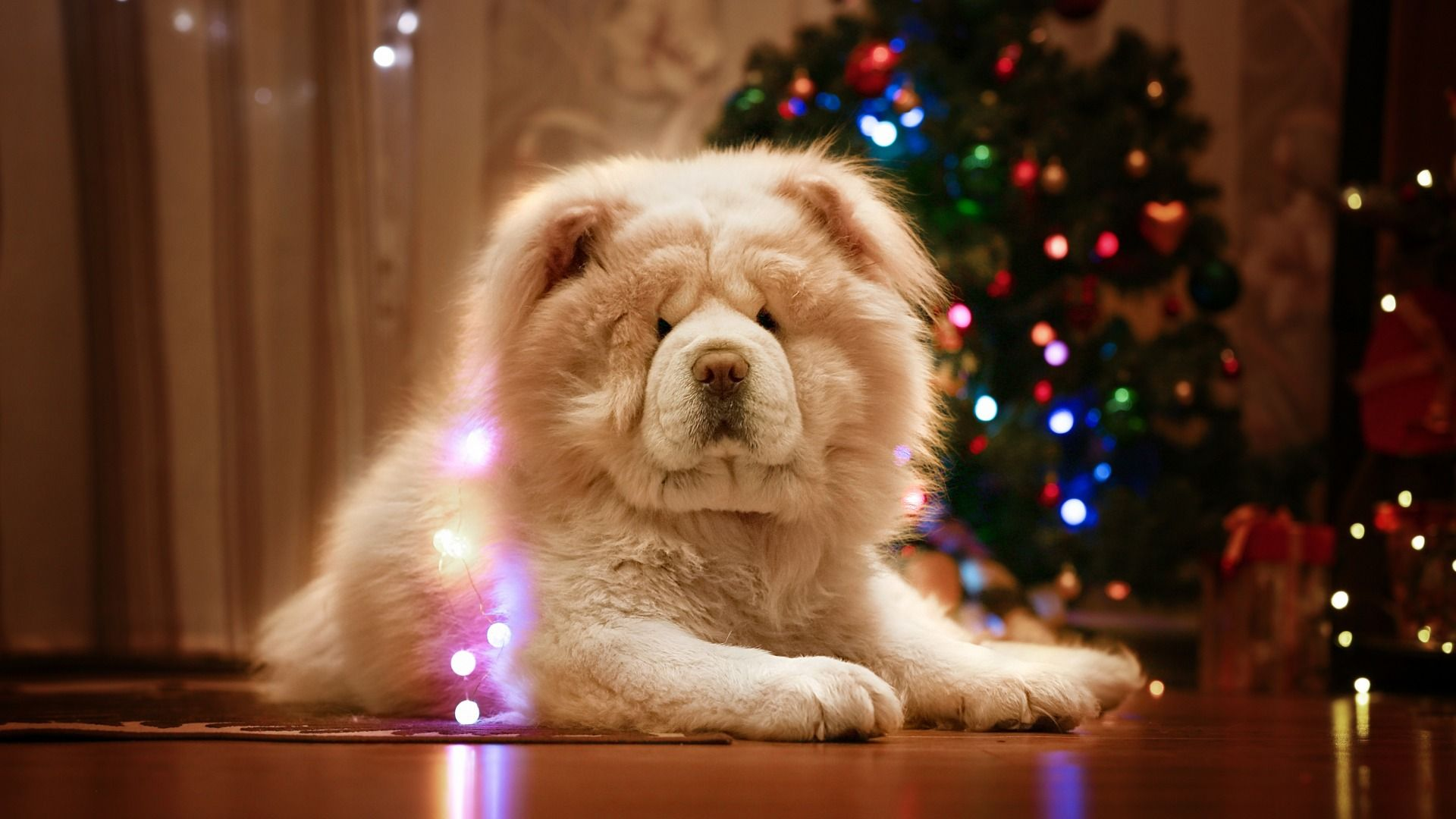 New Photos Of The Chow Chow