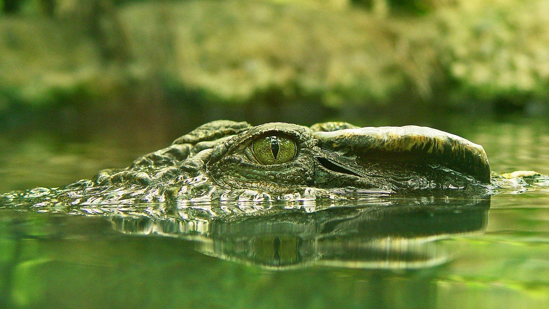 Nilsky Crocodile Photo Green