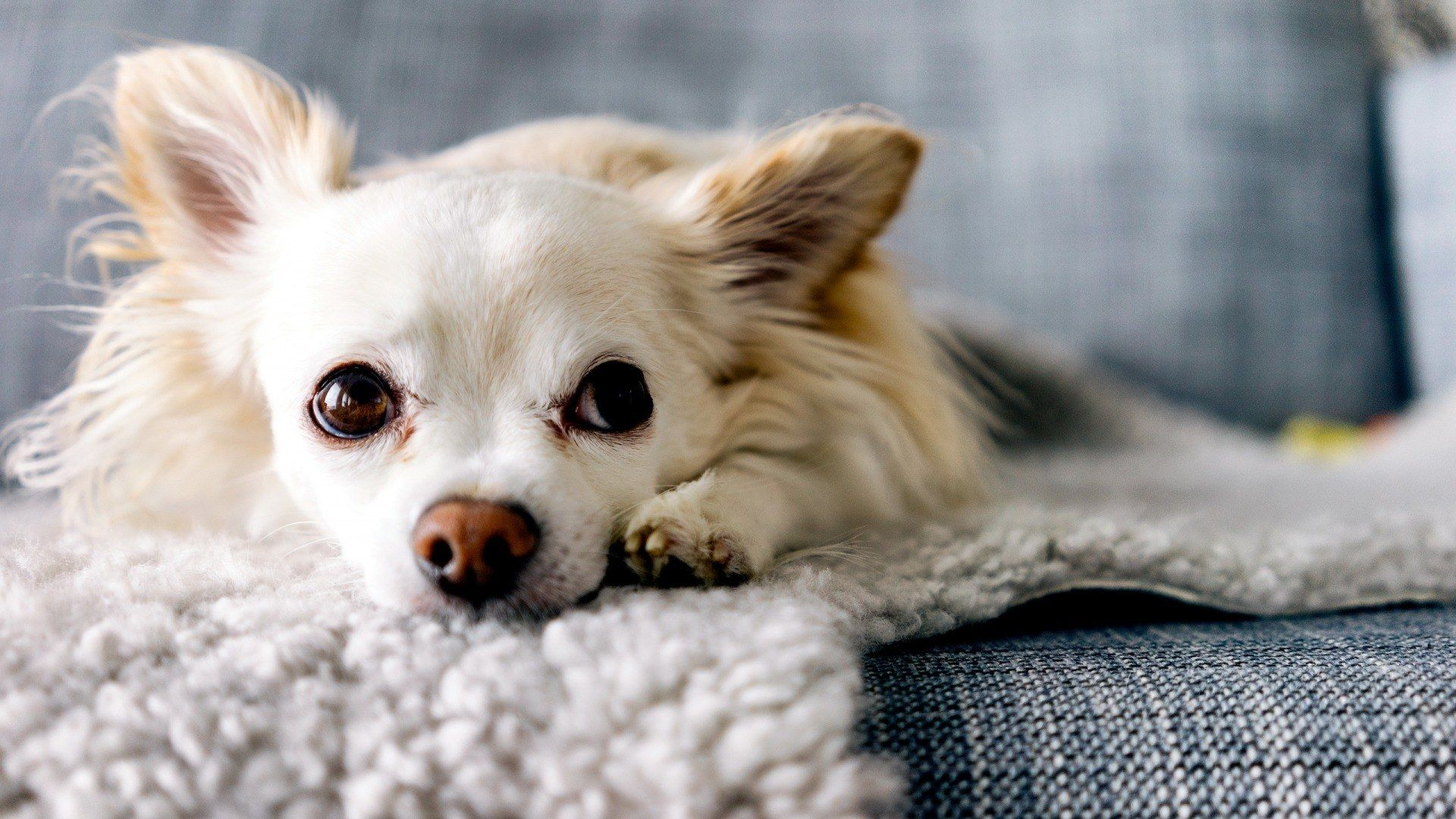 Of Wallpapers Images Chihuahua Long Haired