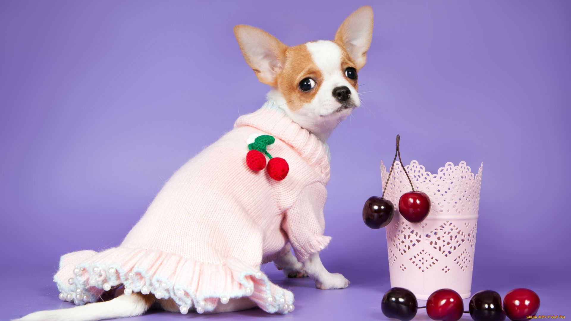 Of Wallpapers Images Chihuahua