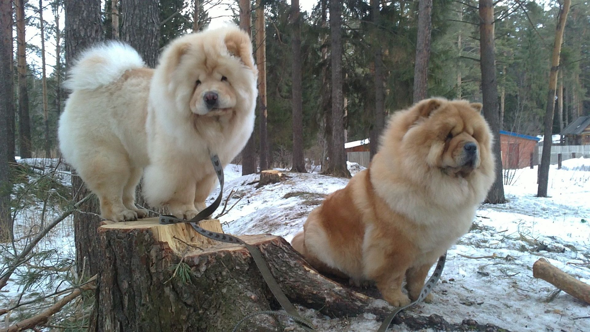 Of Wallpapers Images Chow Chow