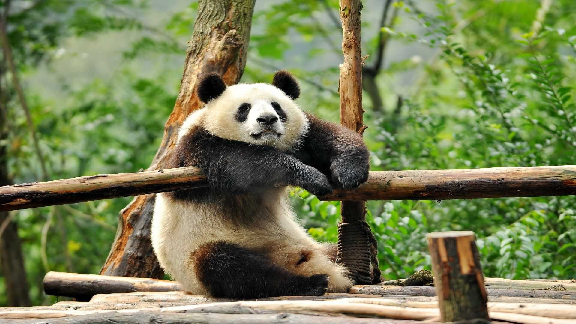 Of Wallpapers Images Panda Funny