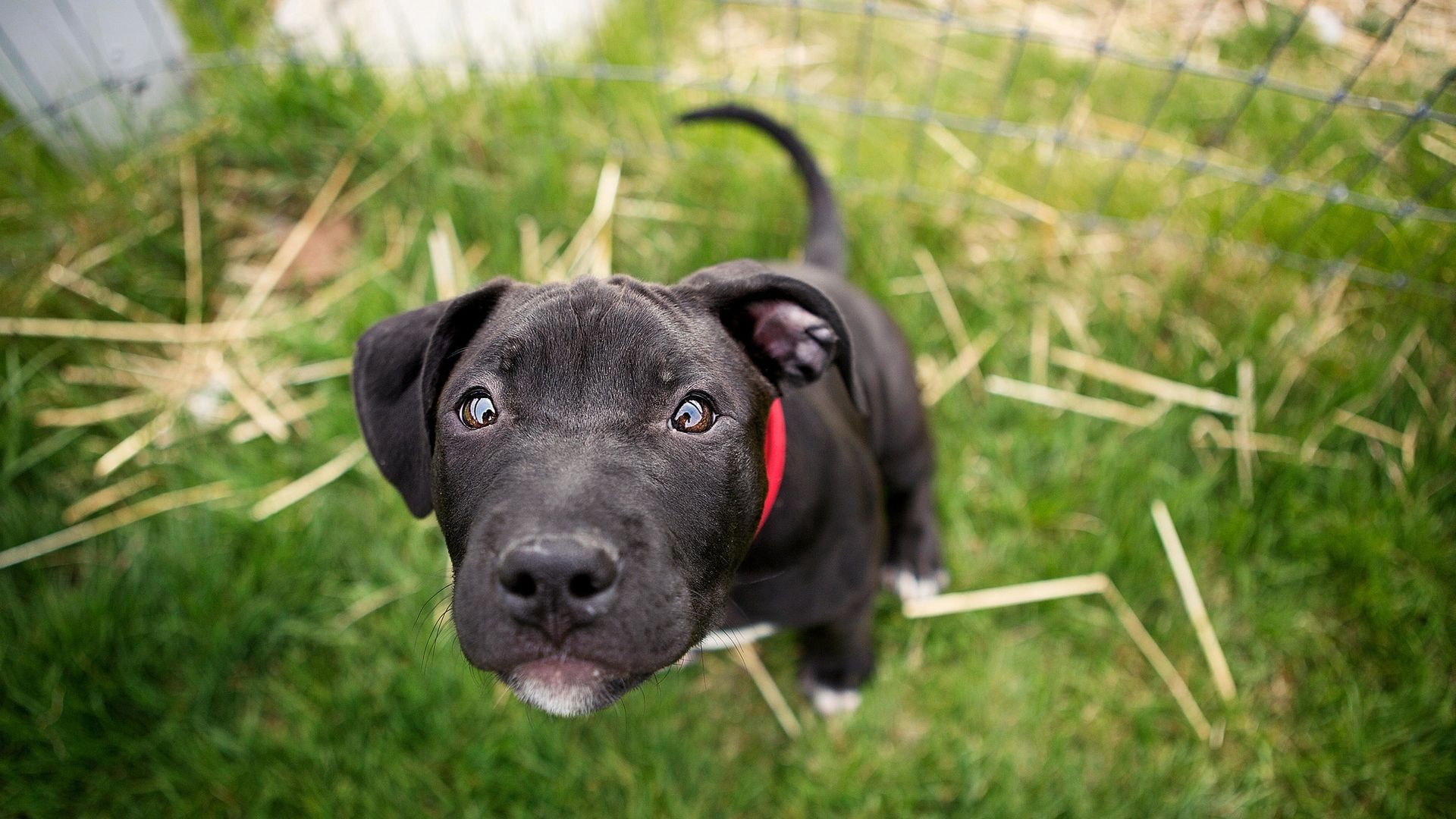 Of Wallpapers Images Pit Bull