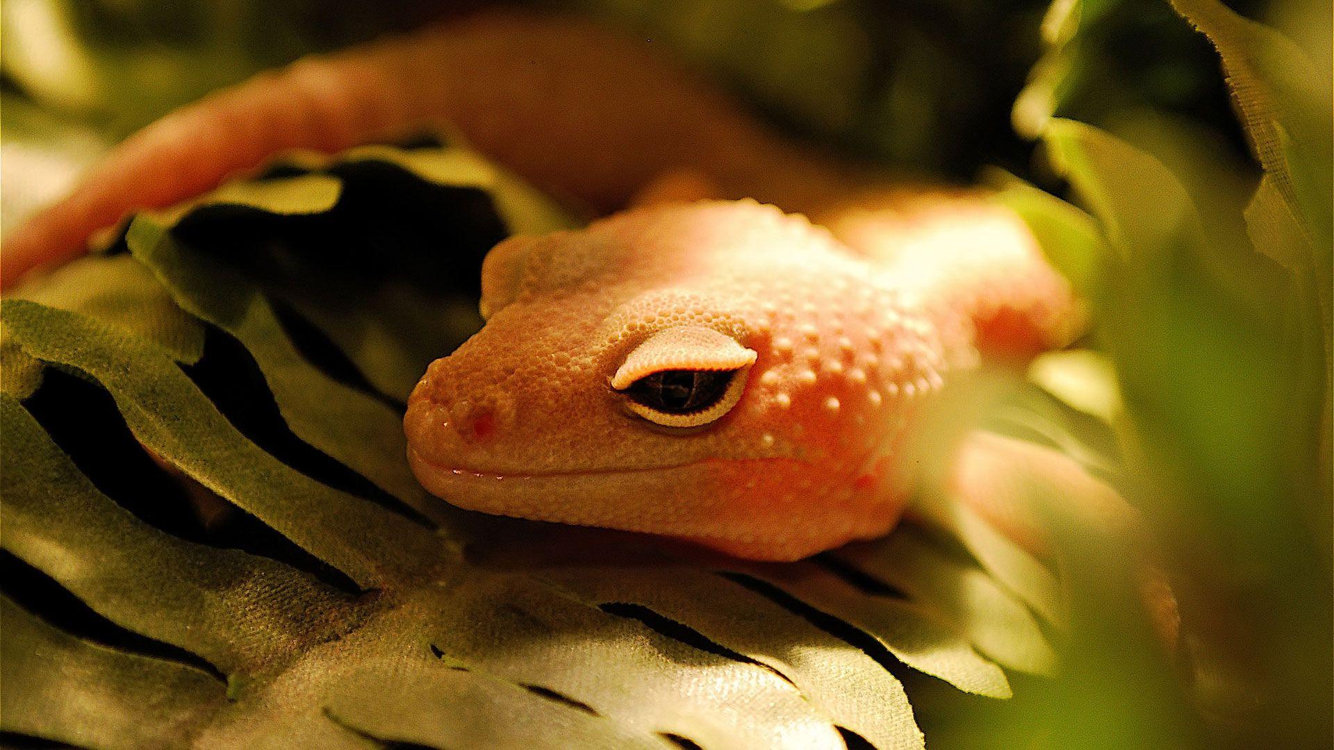 Orange Gecko