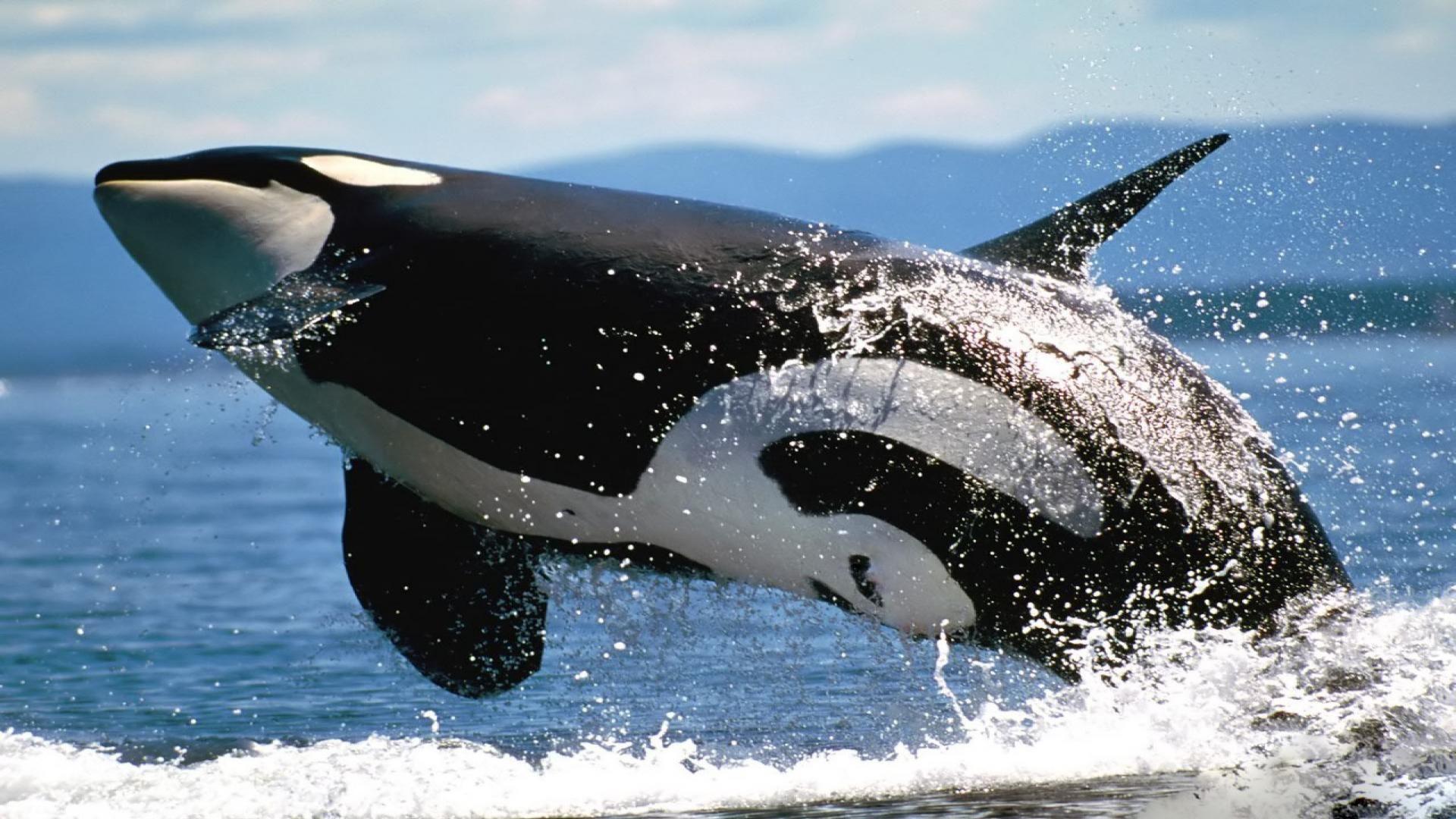 Orca Marine Photo