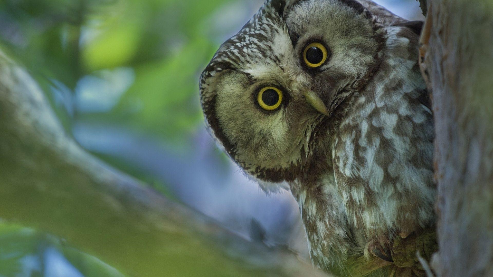 Owl Tengmalms Owl