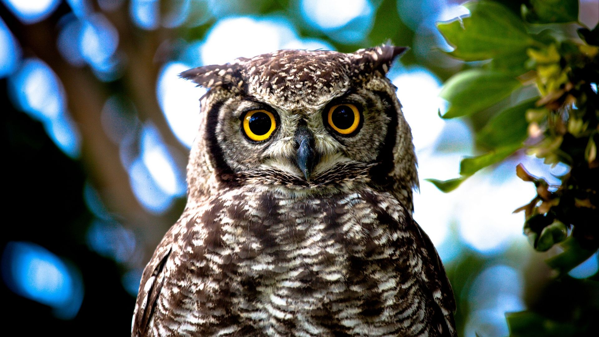 Owl Closeup In Good Quality