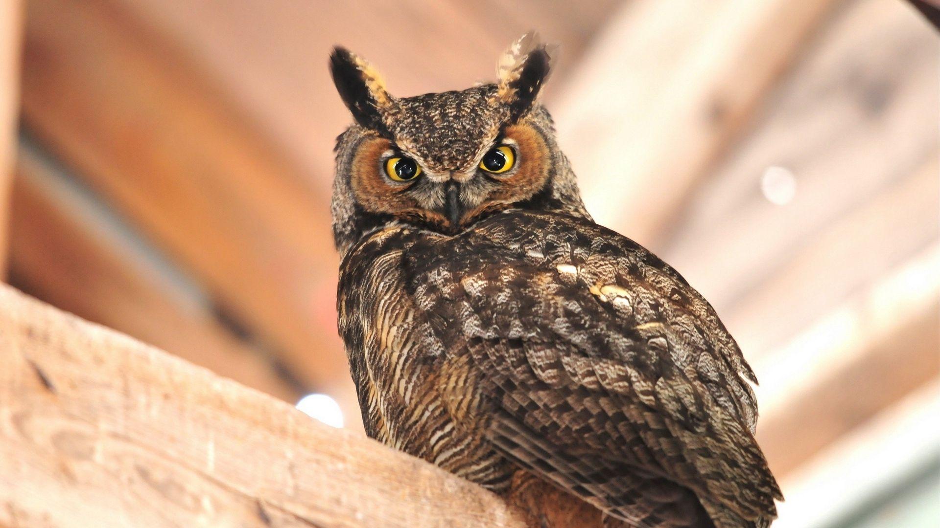 Owl Horned