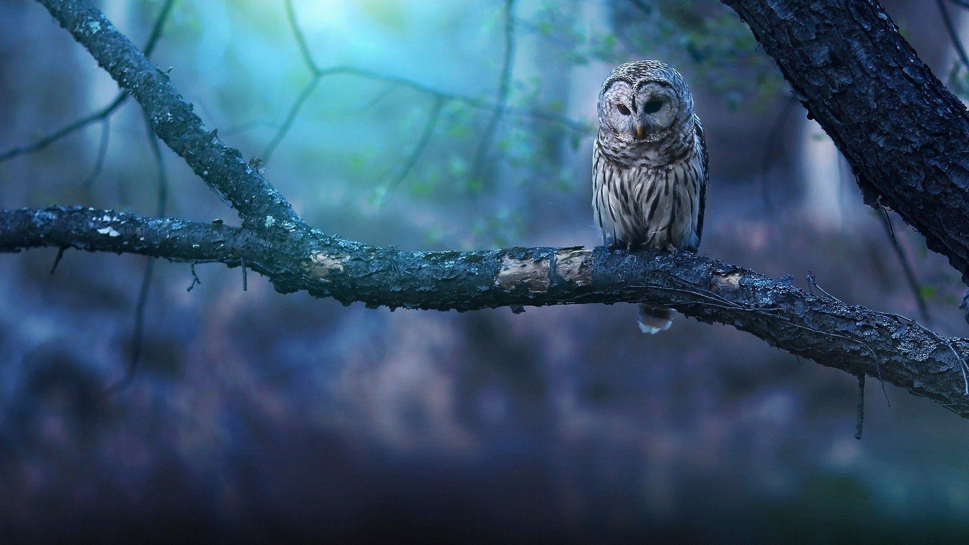 Owls 4k