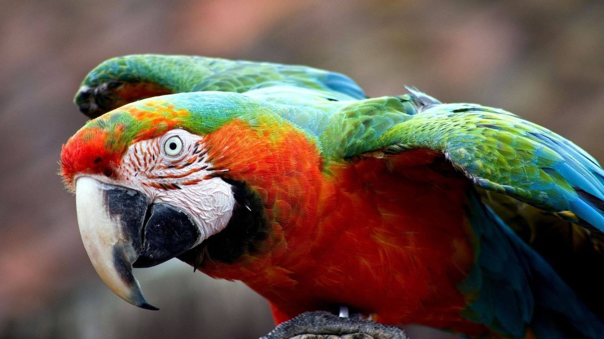Parrot Ara Wallpapers