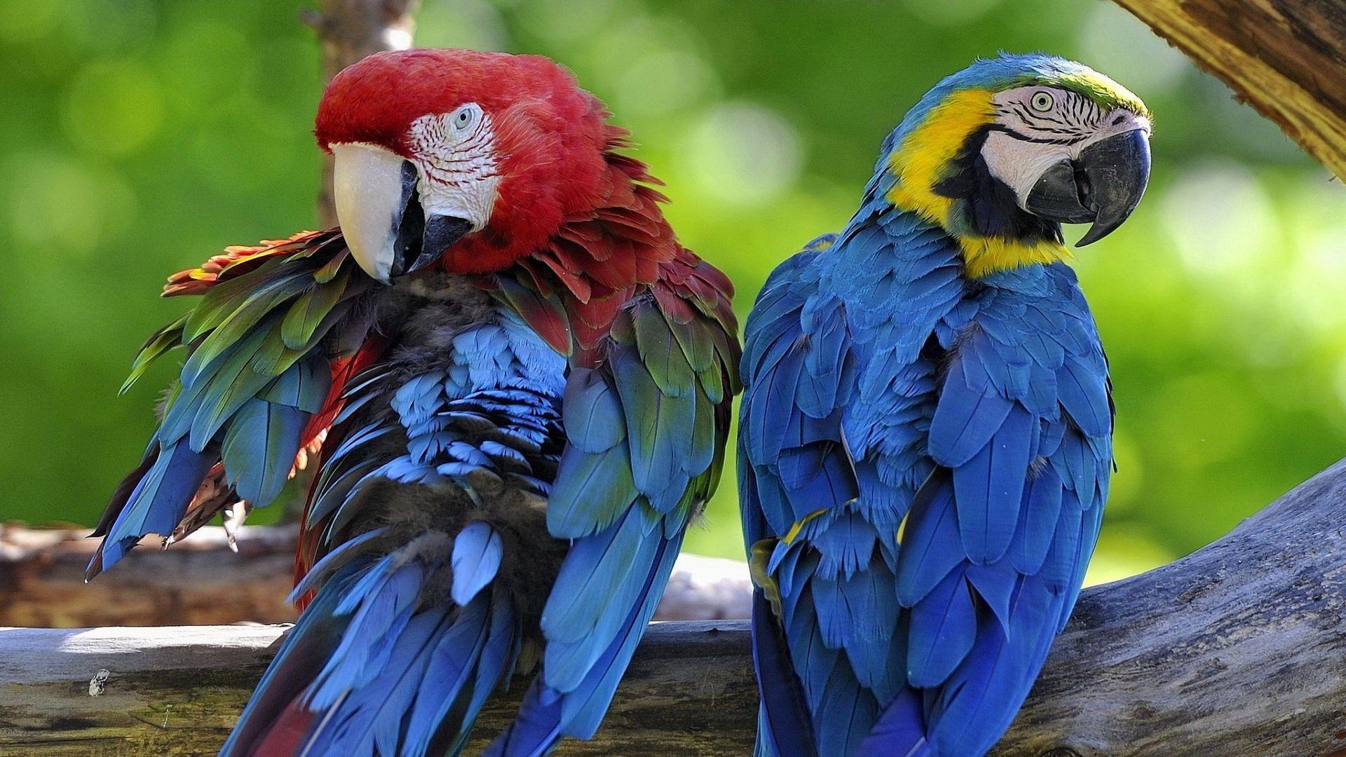 Parrot Arara