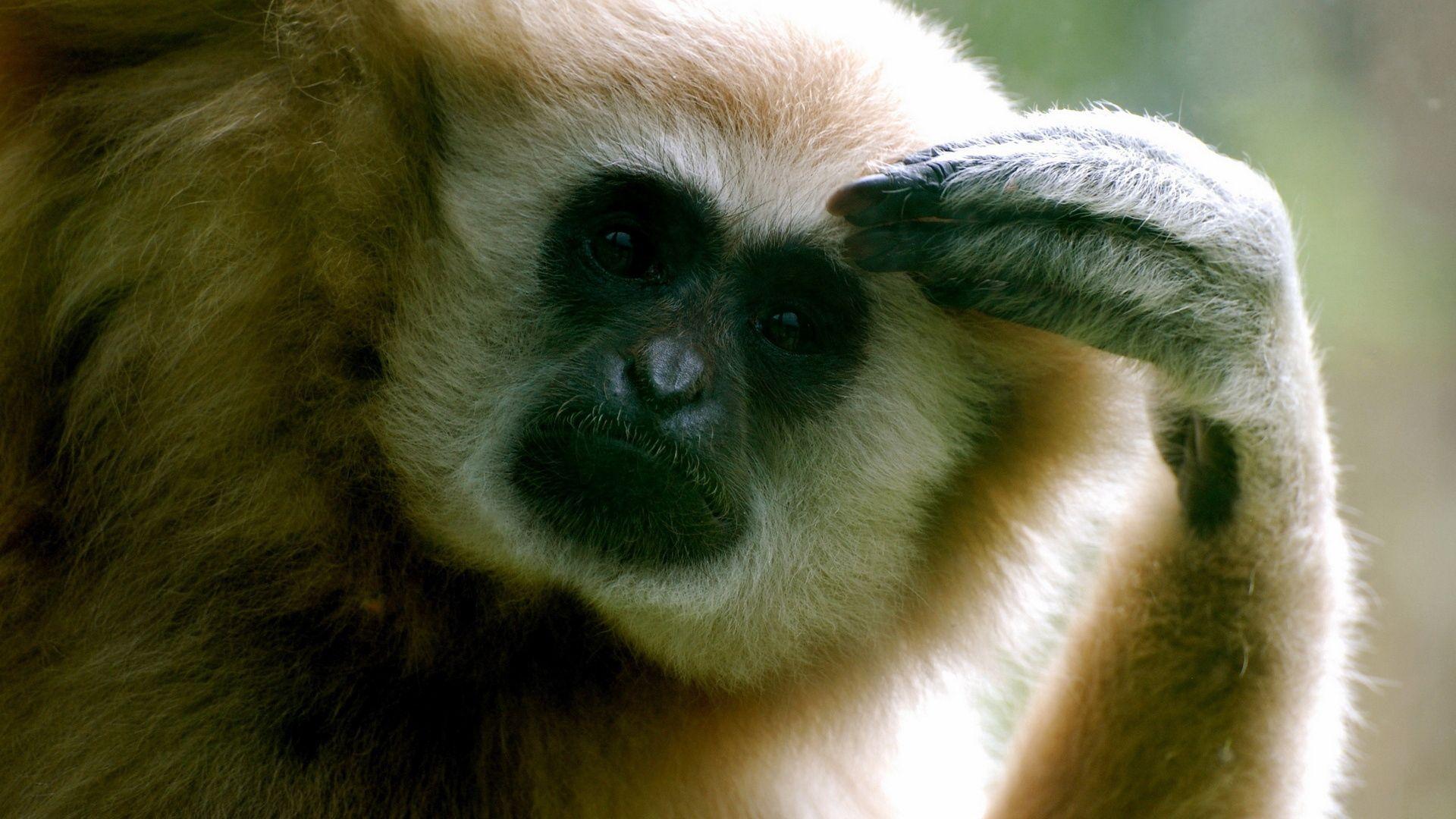 Photo Gibbon Monkey
