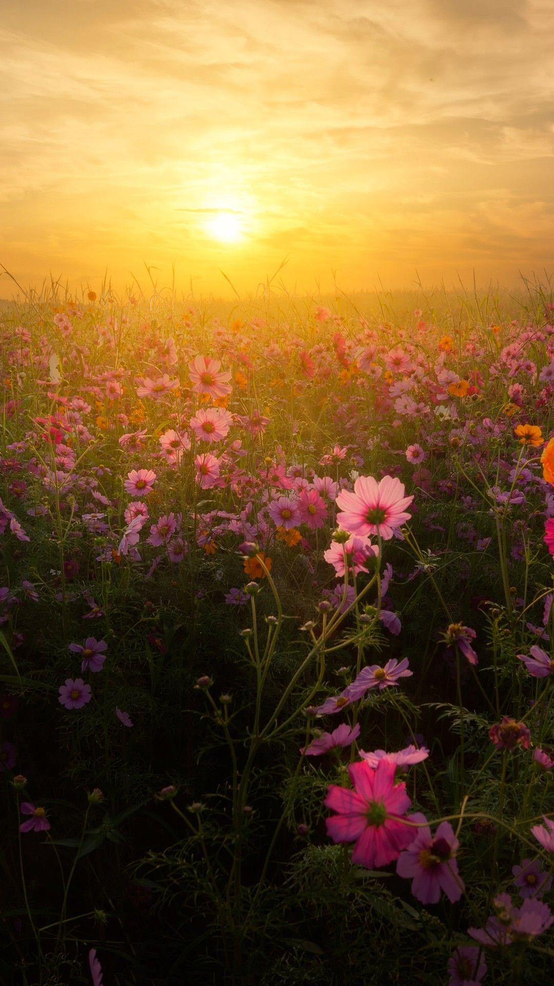 Photo Cosmos Bipinnatus Flower At Sunset