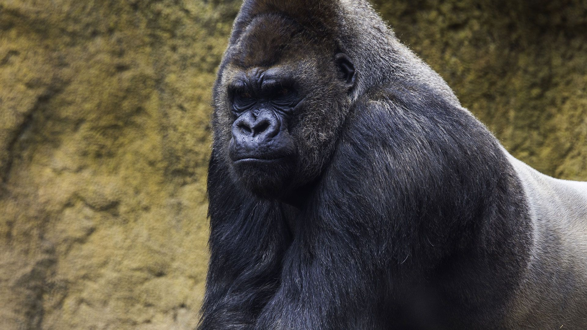 Photo Gorilla Hd