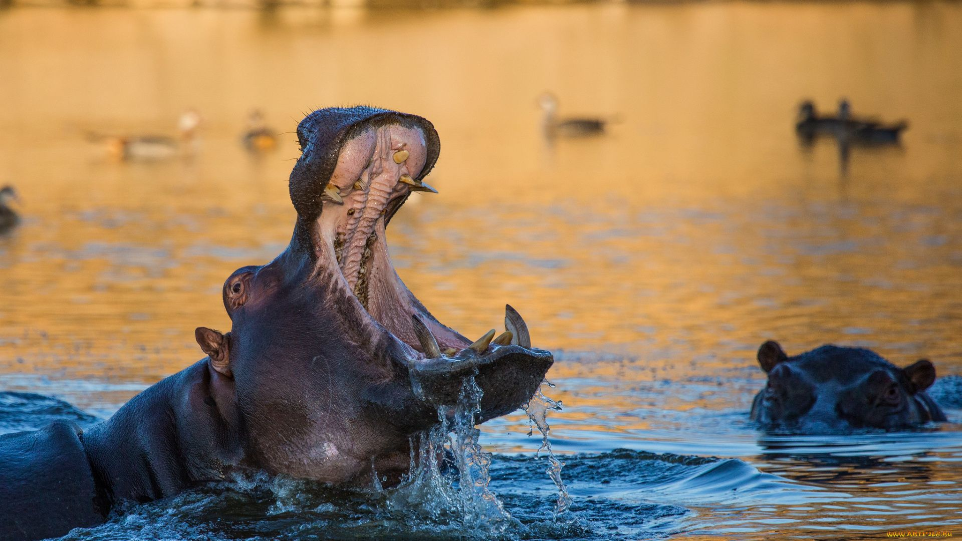 Photo Of Hippos In Nature