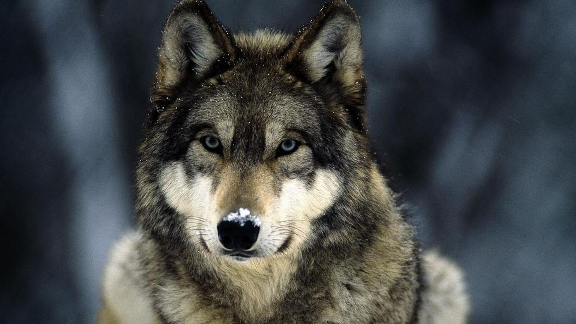 Photo Of The Wolf On Your Avatar