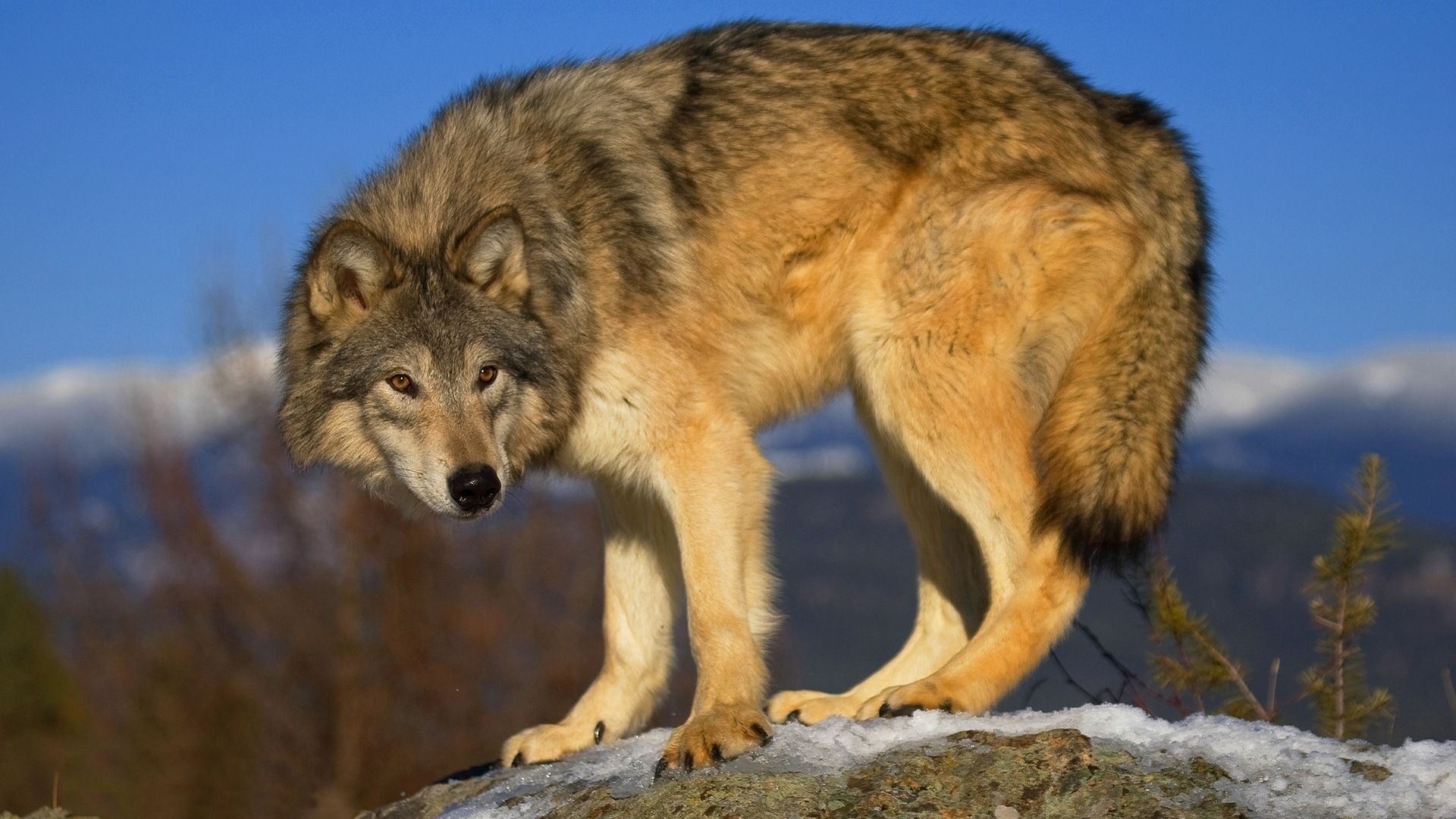 Photo Of The Wolf