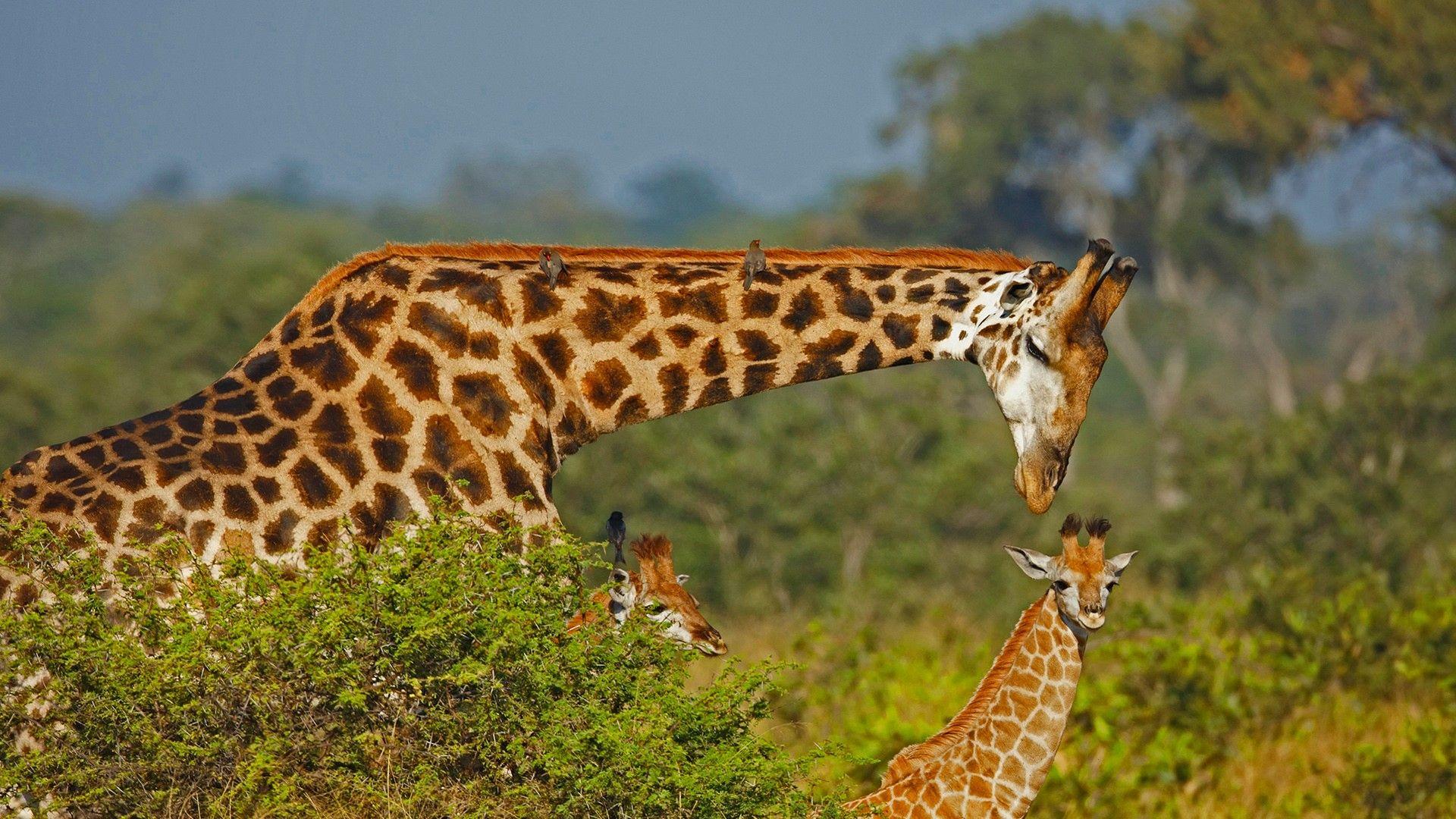 Photo On Desktop Giraffe