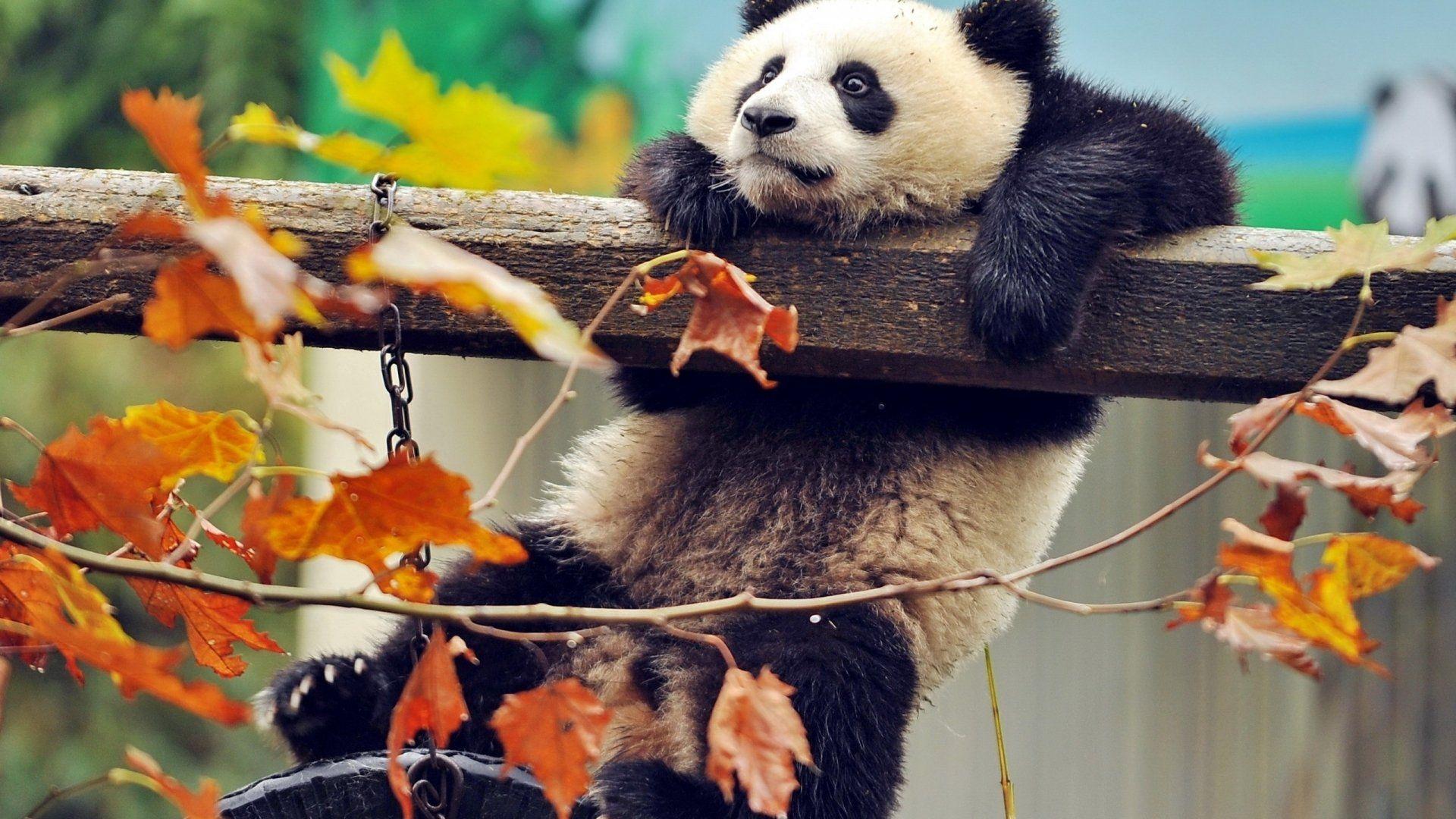 Photo Screensaver Panda