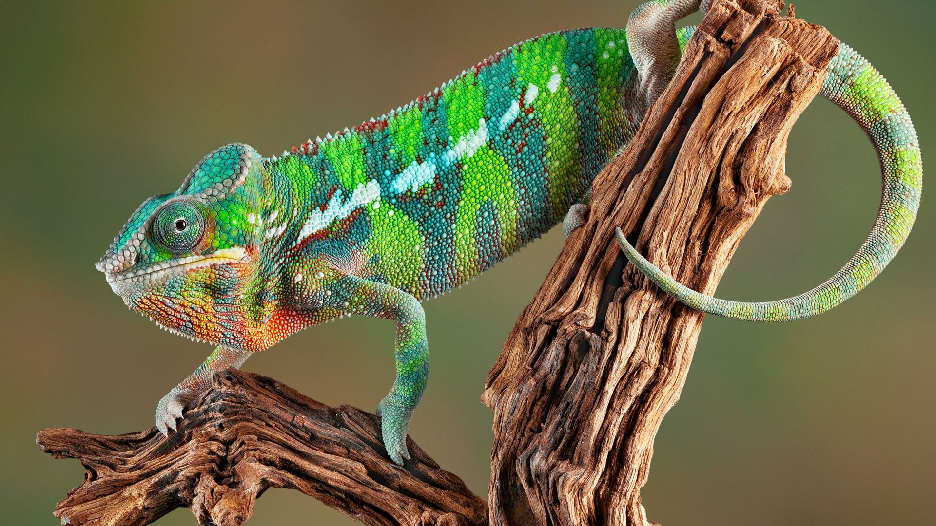 Photos Of Chameleon