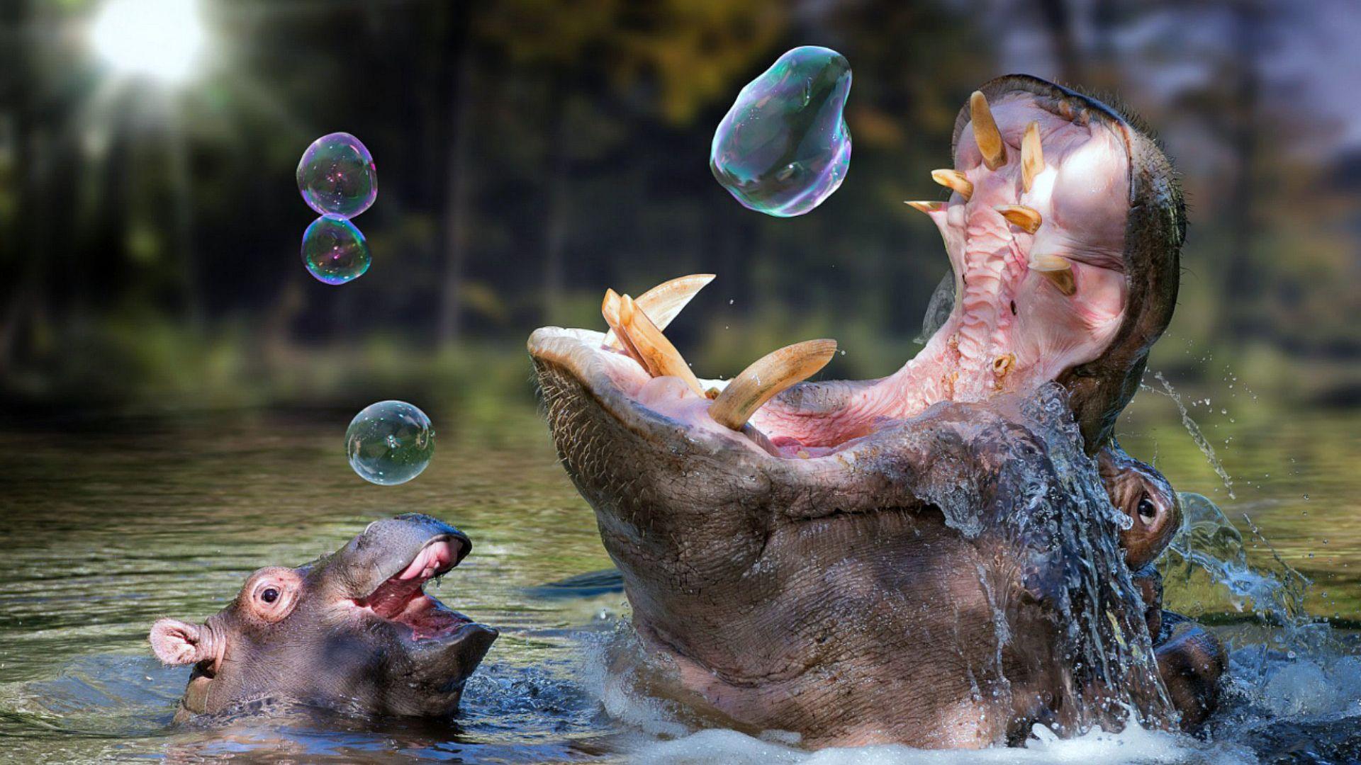 Photos Of Hippos, Beautiful, And Funny