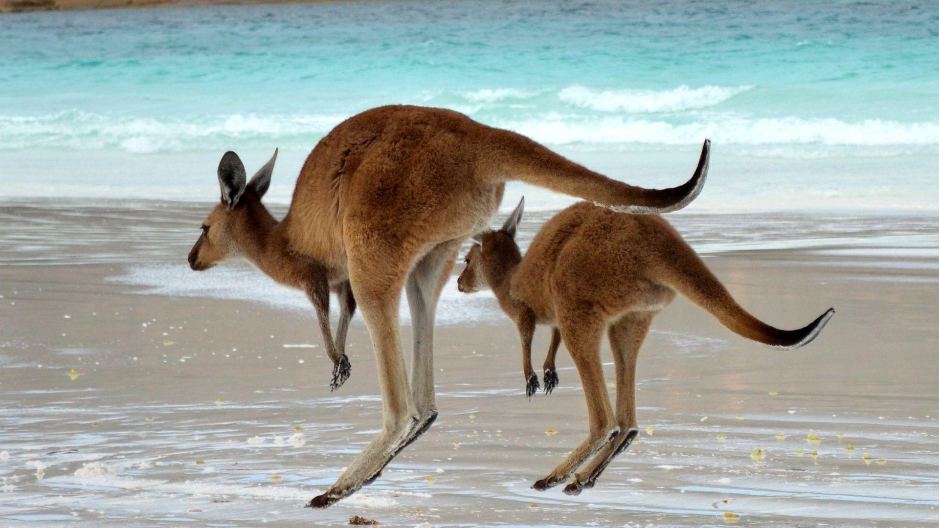 Photos Of Kangaroos In Australia Beautiful